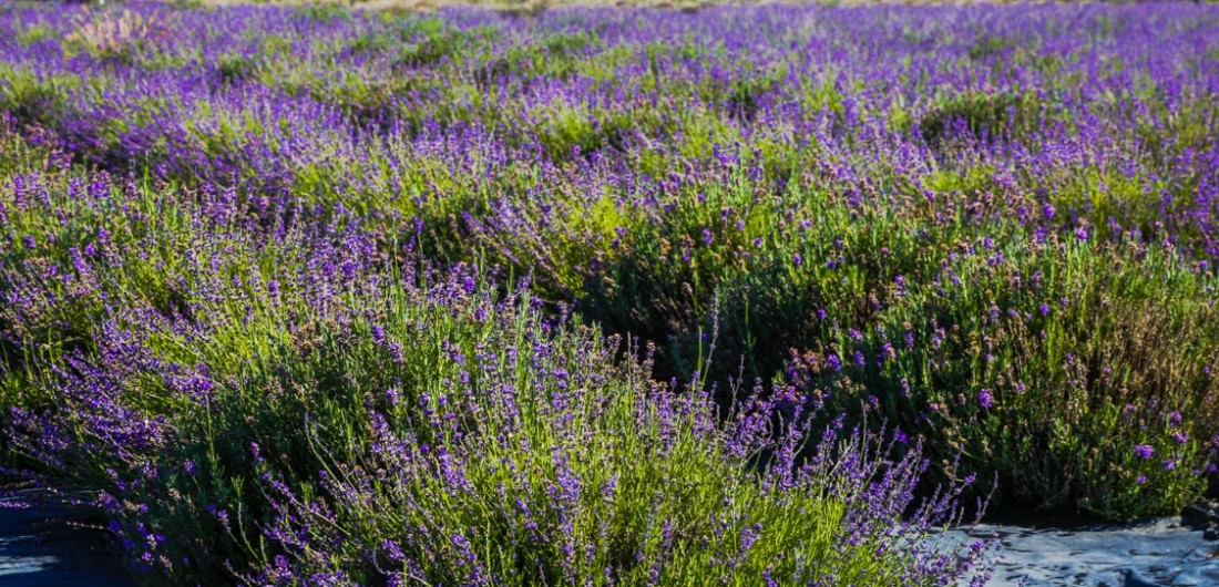 Spritzing up your RV with Lavender at the Tumalo Lavender Farm