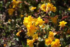 Rockey Mountain Flowers