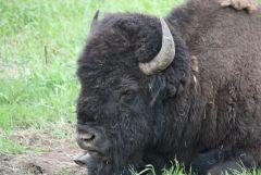 Yellowstone Resident