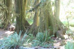 Row Of trees that grew On nurse Log