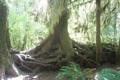 Tree that grew On nurse Log