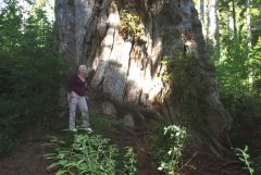 1 Louise At Base Of Record Western Red Cedar