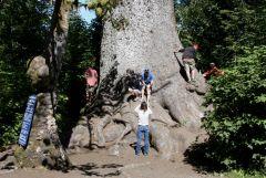 7 Climbing Largest Sitka Spruce