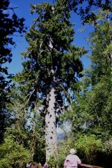 5 Largest Sitka Spruce