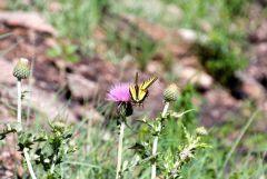 Butterfly near Devils Tower