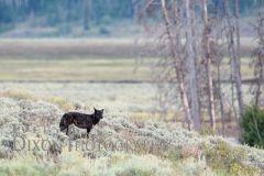 Deby Dixon wolf photo