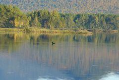 18 Loon in Dead River