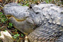 Big gator in the EVerglades