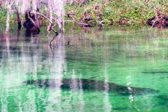Manatee submerged