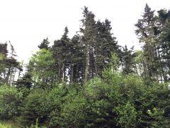 Trees in NB