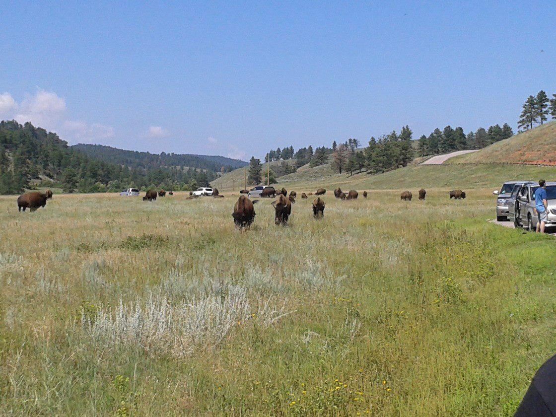 Buffalo At Custer State Park, SD