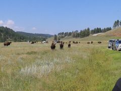 Buffalo At Custer State Park, SD