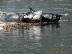Seal lying around enjoying sunshine on Dyea road