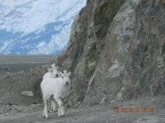 Mountain Goats at Destruction Bay, Yukon.